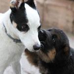 """Jack Russell Terrier Dame """"Ayla"""" und klein """"Hailey"""""""