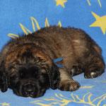 Rüde dunkelblau: sooooo müde