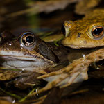 Grasfrosch- und Erdkrötenmännchen, Seehaussee Pforzheim