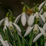 Honigbiene vor Schneeglöckchen