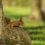 Eichhörnchen, Hauptfriedhof Pforzheim