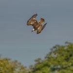 Fischadler, Enzkreis