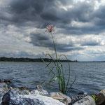 Schwanenblume am Plauer See, Brandenburg