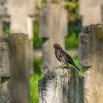 Amselmännchen, Hauptfriedhof Pforzheim