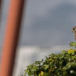 Turmfalke, Enzauen Pforzheim