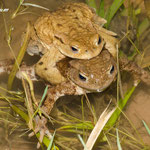 Erdkrötenpaar, Seehaussee Pforzheim