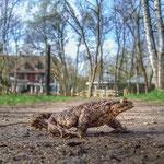 """Erdkrötenmännchen, """"Seehaus"""" Pforzheim"""