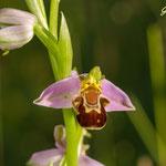 Bienenragwurz; Pforzheim