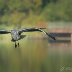 Graureiher am Aalkistensee, Maulbronn