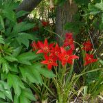 Tulipa sprengeri/ Wildtulpe