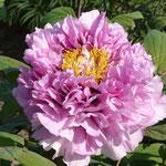 Rockii Ebert lila-rosa