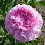 Vivid Rose