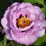 Zuchau Lavendel