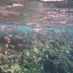 und Fische unter dem Steg
