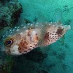 stachlige Fische