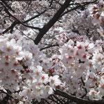 みんなで咲く(船越堤公園2014)