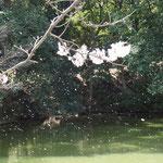 桜吹雪(船越堤公園2014)
