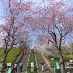 メイン階段に垂れ桜の門(船越堤公園2014)