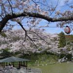 四阿を桜が囲む(船越堤公園2014)
