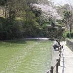 桜の天の川(船越堤公園2014)