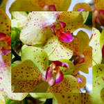 orchid_square_0899_yellow