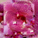 orchid_square_0002_pink