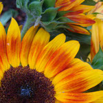 sunflower_0008