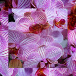 orchid_square_0797_pink
