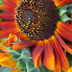 sunflower_0009