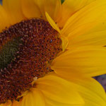 sunflower_0016