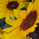 sunflower_0020