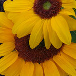 sunflower_0019