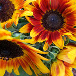 sunflower_0005