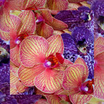orchid_square_0066_mixed