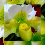 orchid_square_0115_green