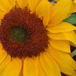sunflower_0015