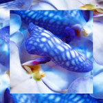 orchid_square_0001_blue