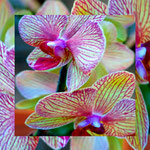 orchid_square_0046_yellow