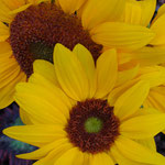 sunflower_0013