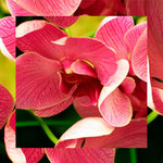 orchid_square_0036_pink