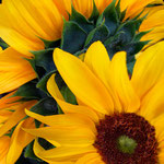 sunflower_0021