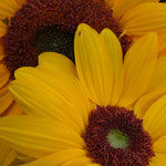 sunflower_0014