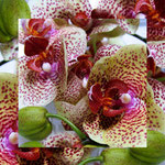 orchid_square_0571_red
