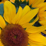 sunflower_0017