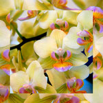orchid_square_0463_yellow