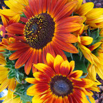 sunflower_0003