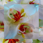 orchid_square_0015_white