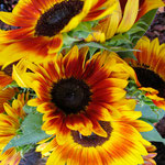 sunflower_0006
