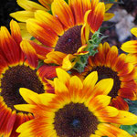 sunflower_0007