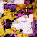 orchid_square_1290_mixed